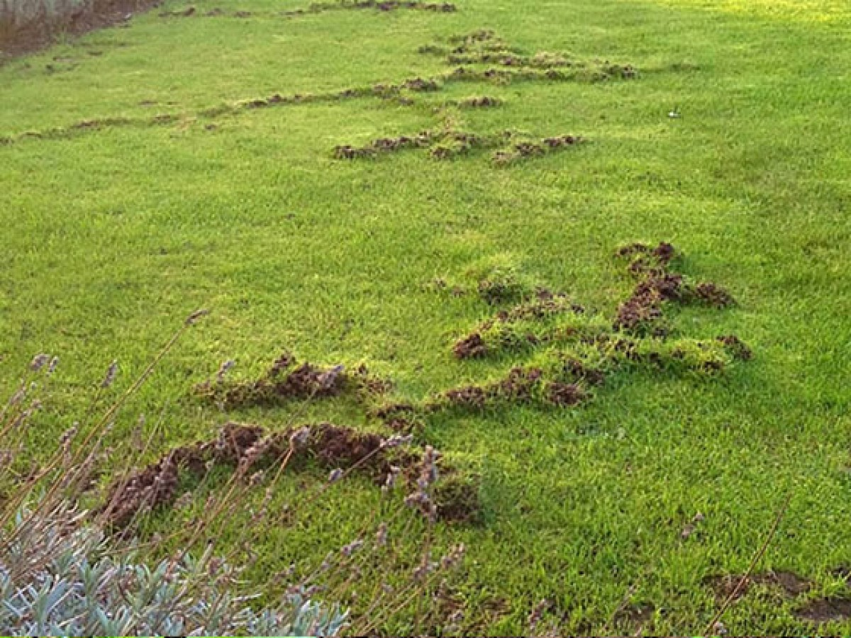 how to kill moles in your yard